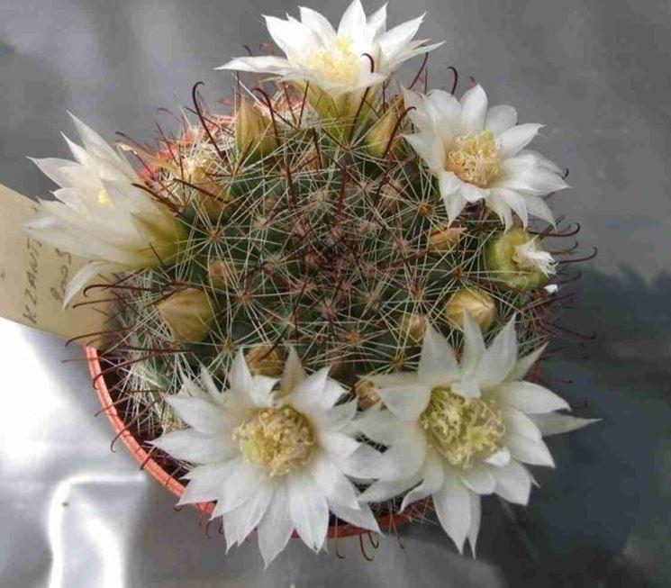 cactacea mammillaria fiorita