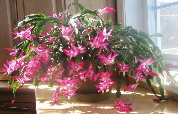 Cactus di Natale