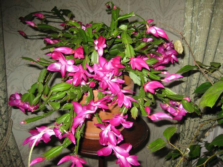 Cactus di natale piante grasse caratteristiche del for Pianta cactus