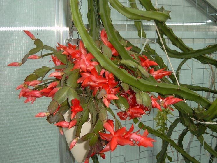 Cactus di Natale in appartamento