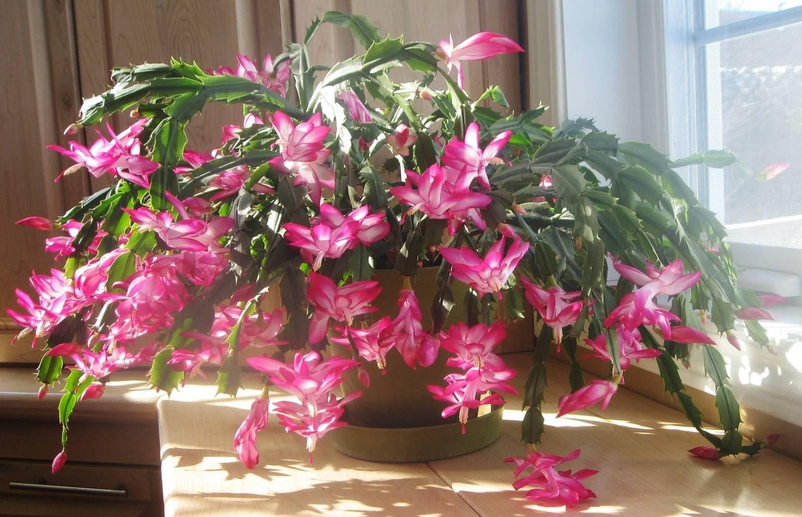 cactus di natale piante grasse caratteristiche del