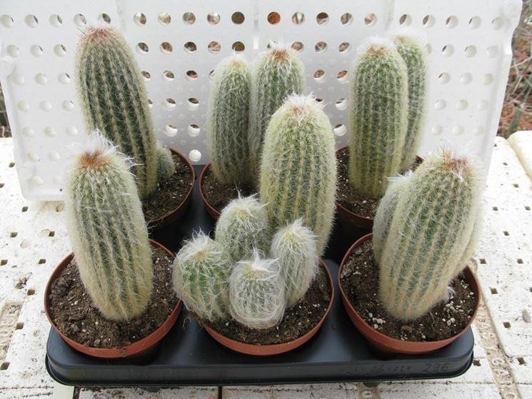 Variet� di Cactus Espostoa lanata