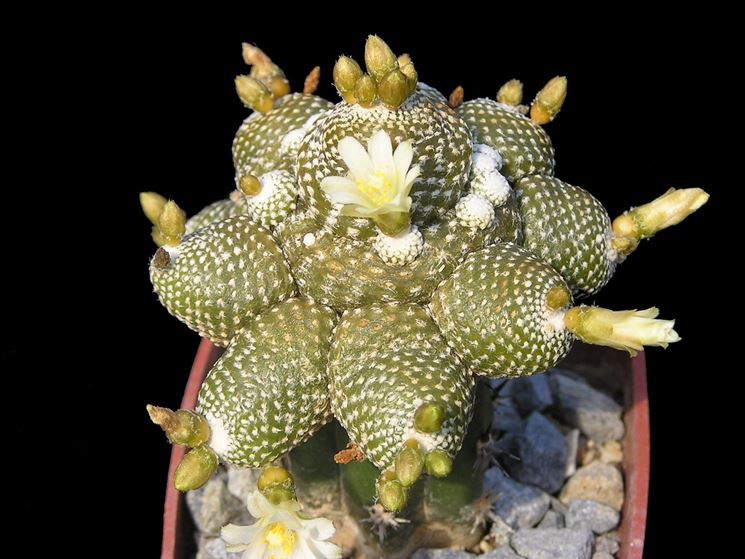 Varietà di Cactus Blossfeldia liliputana<b> </b>