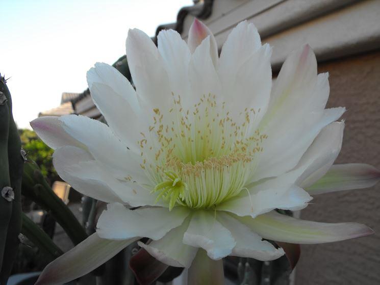 cereo fiore