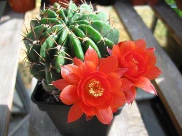Un cactus in fiore