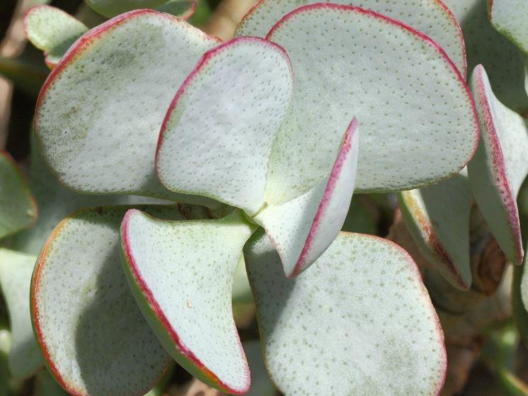 Particolare delle foglie di crassula