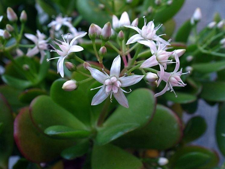I fiori della Crassula ovata