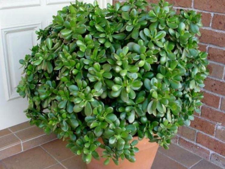 Crassula Crassula Piante Grasse Crassula Arborescens