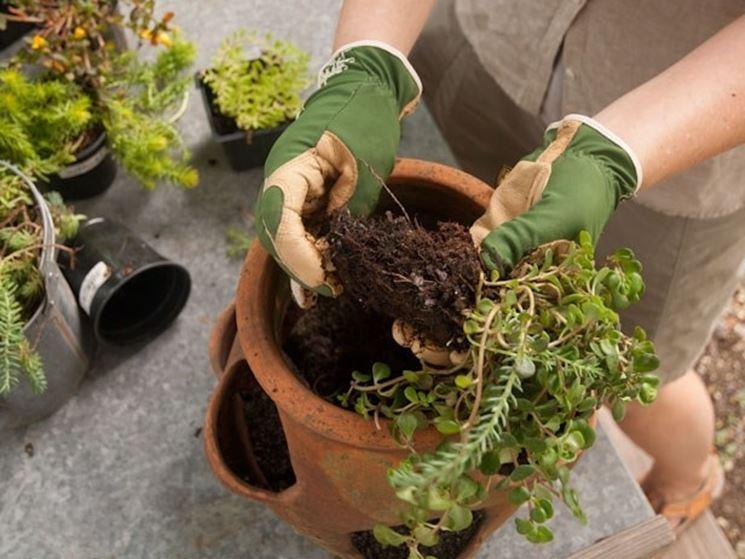 Apparato radicale piante grasse