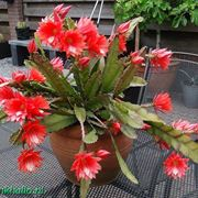 Pianta Epiphyllum fiore