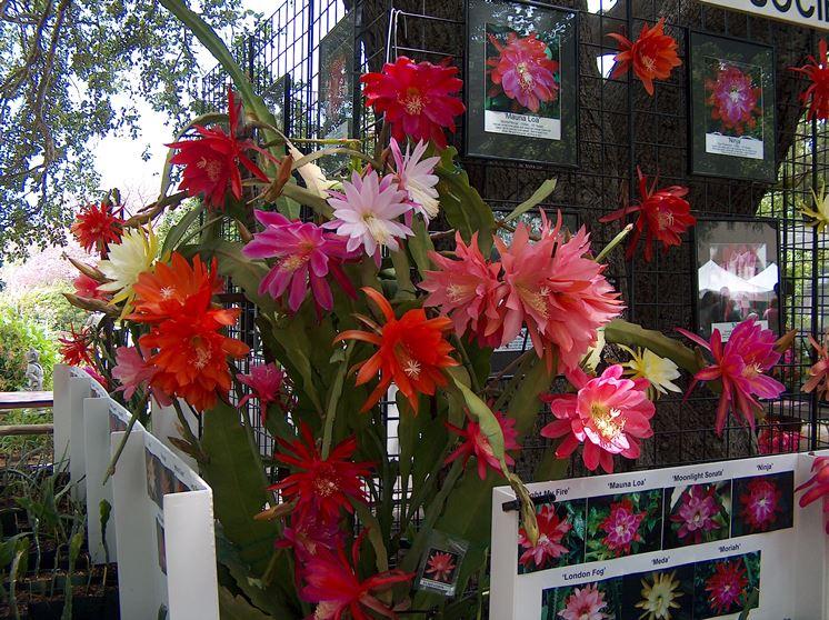 Fiori Epiphyllum