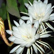 epiphyllum bianco