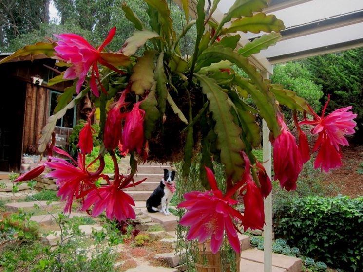 ephiphyllum pianta