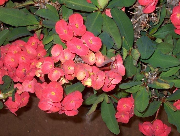 Infiorescenze di Euphorbia milii