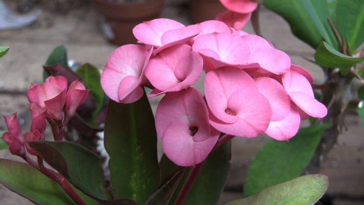 euphorbia rosa