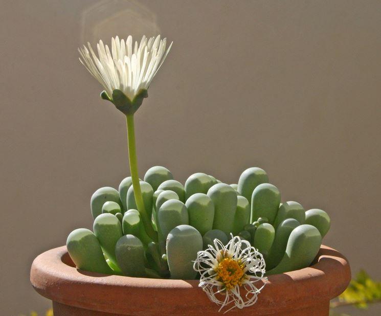 Fenestraria coltivata in vaso