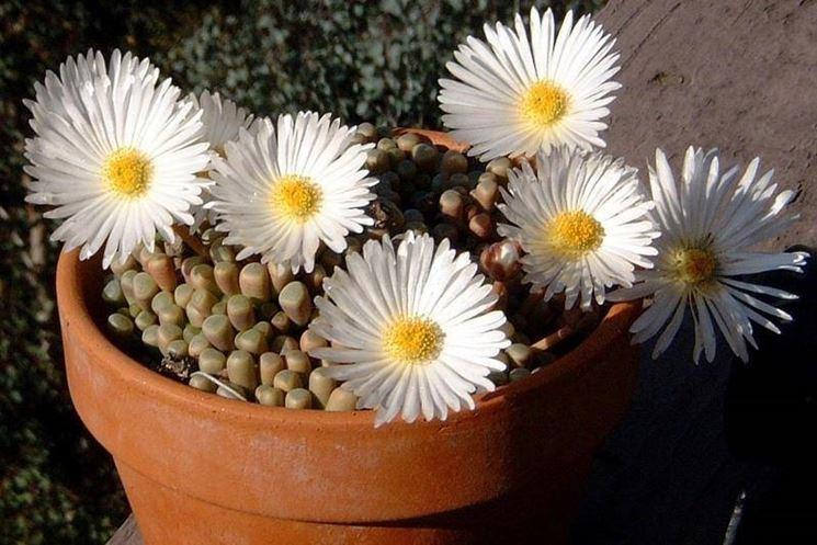 Splendidi fiori di fenestraria