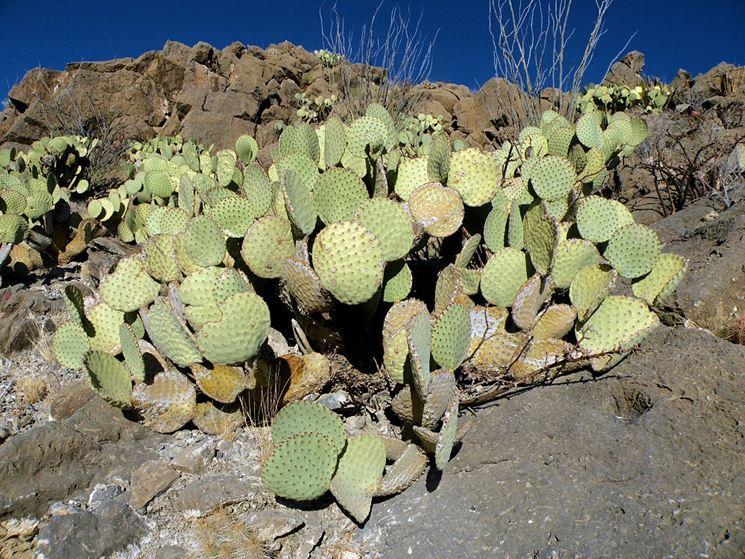 Cactus piante grasse tutto sui cactus for Pianta cactus