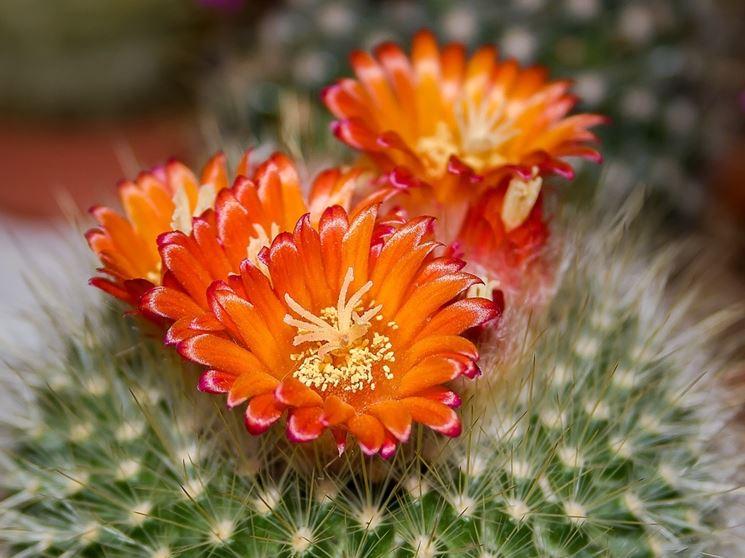 mammillaria fiore