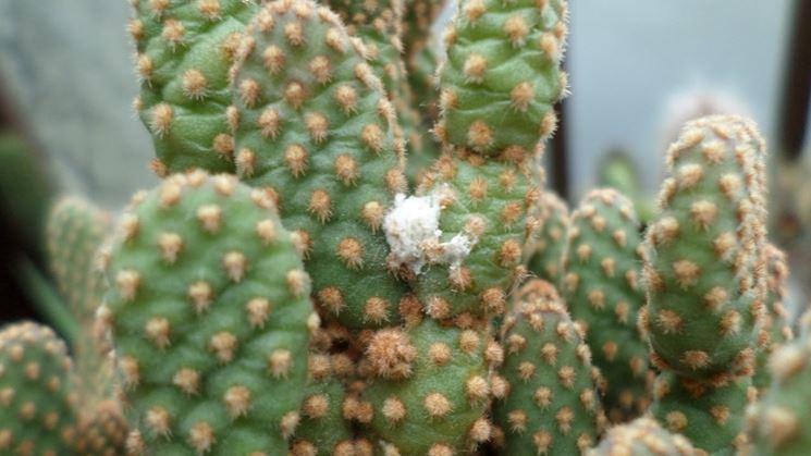 malattie cactus