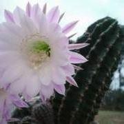 fiore cactus