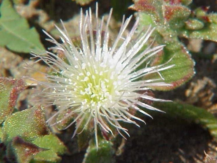 Mesembryanthemum crystallinum Famiglia : Aizoaceae