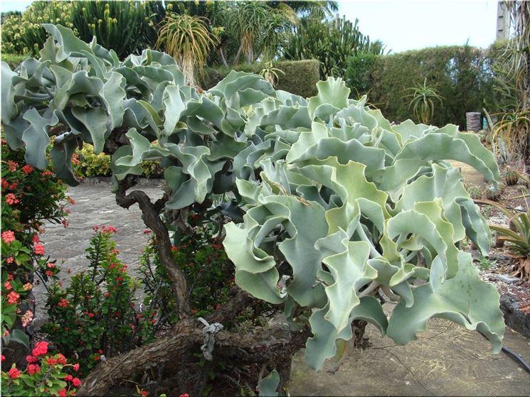 Foglie pianta grassa