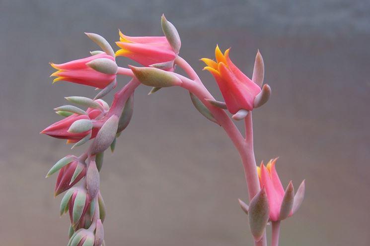 Echeveria fiorita