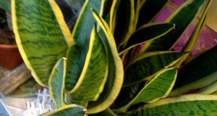 Lingua di suocera coltivata in vaso