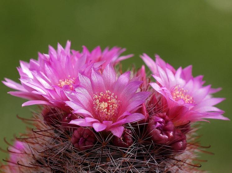 mammillaria a fiore rosa