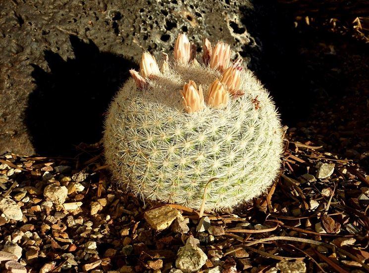 Piante grasse nomi piante grasse le cactacee fai da te in giardino piante da appartamento foto - Nomi di piante da giardino ...