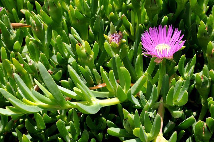 Nomi piante grasse piante grasse come si chiamano le for Tutte le piante grasse