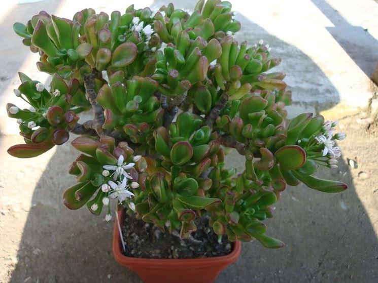 Crassula ovata fiori