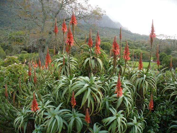 Aloe arborescens in fioritura