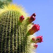 Cactus con fiori