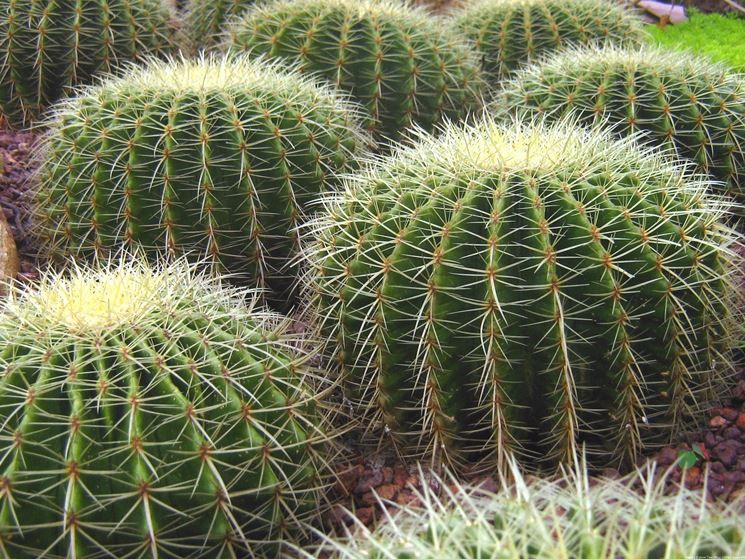 cactus a palla