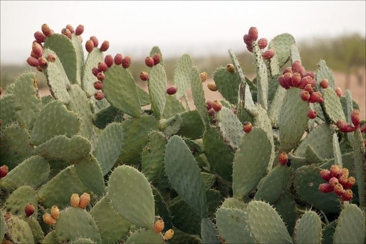 cactus fico d'india