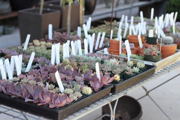 Piccole piante grasse in vendita