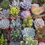 Vari tipi di succulente