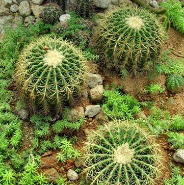 Classici cactus globosi