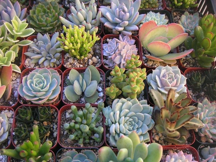 Piante grasse cactus piante grasse il cactus e le - Piante grasse da esterno pendenti ...