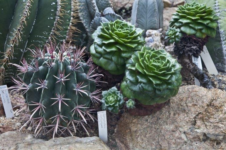 Succulenti appartenenti alle Cactaceae
