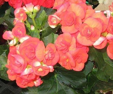 Fiori della pianta di Begonia
