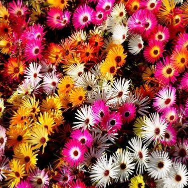 Fiori colorati di Mesembryanthemum
