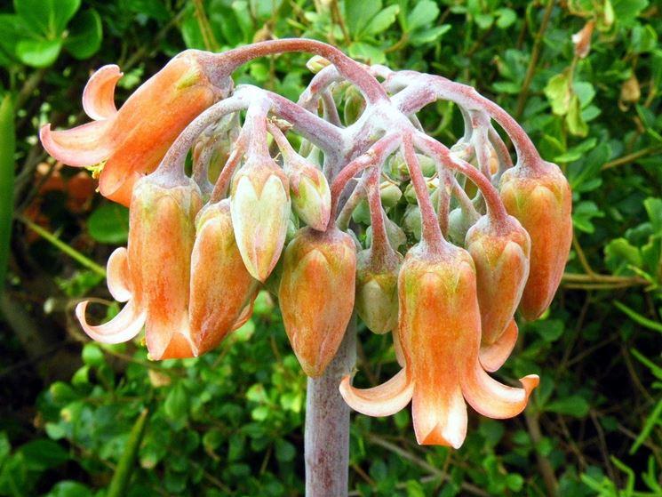 Infiorescenza della pianta di Cotyledon