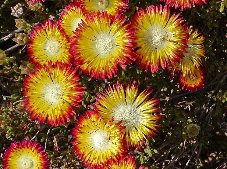 Piante grasse che fioriscono piante grasse piante for Piante annuali