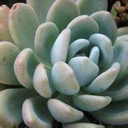 Esemplare succulento