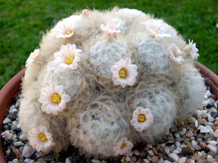 Pianta appartenente al genere Mammilaria