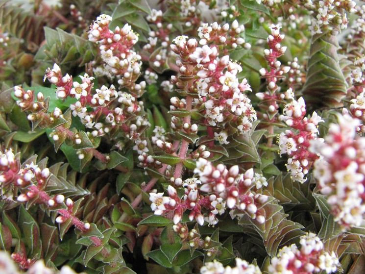 Piante grasse con fiore - Piante Grasse - Piante grasse fiore