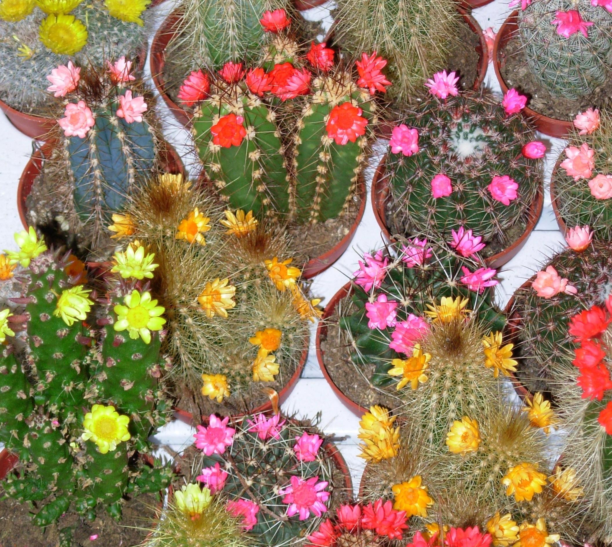 Piante grasse con fiori - Piante Grasse - Piante grasse fiorite